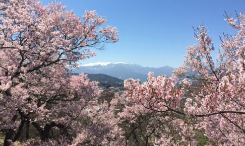 高遠城 桜